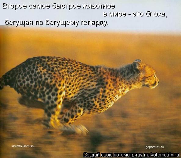 Котоматрица: Второе самое быстрое животное  в мире - это блоха,  бегущая по бегущему гепарду.