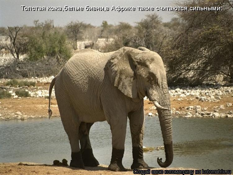Котоматрица: Толстая кожа,белые бивни,в Африке такие считаются сильными.