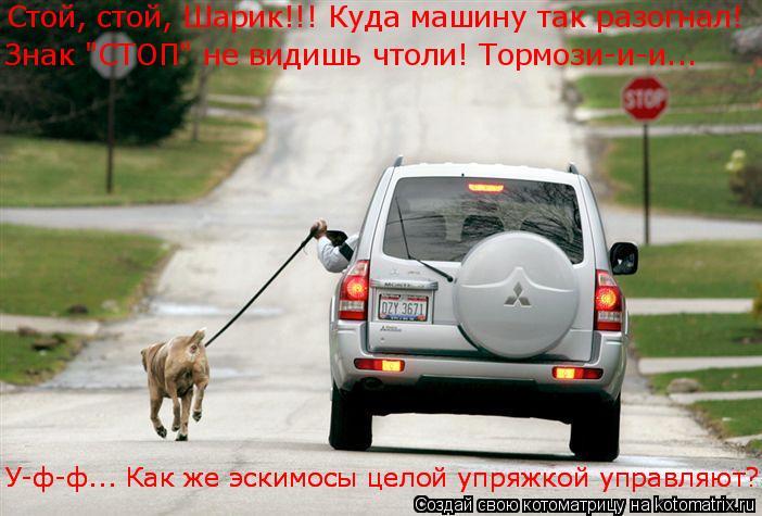 """Котоматрица: Стой, стой, Шарик!!! Куда машину так разогнал! Знак """"СТОП"""" не видишь чтоли! Тормози-и-и... У-ф-ф... Как же эскимосы целой упряжкой управляют? У-ф-ф..."""