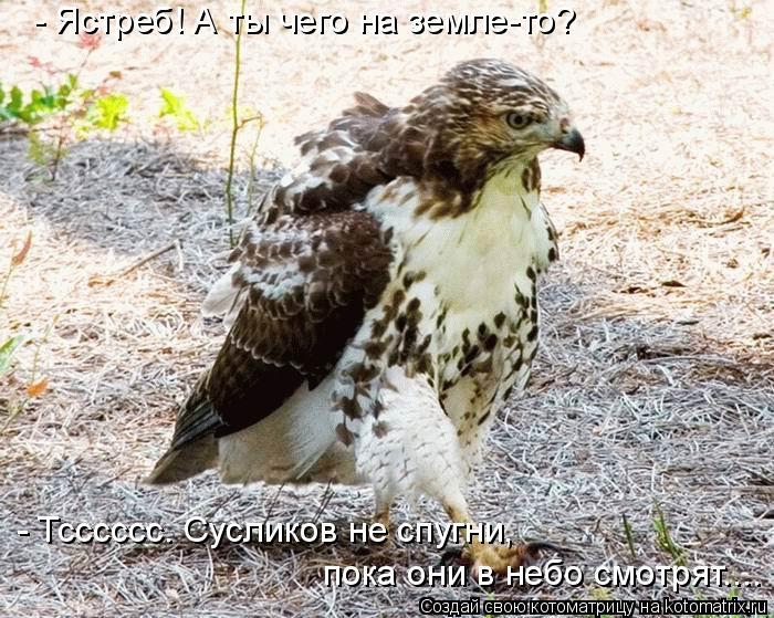 Котоматрица: - Ястреб! А ты чего на земле-то? - Тсссссс. Сусликов не спугни,  пока они в небо смотрят....
