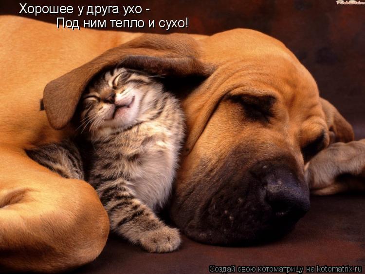 Котоматрица: Хорошее у друга ухо -  Под ним тепло и сухо!