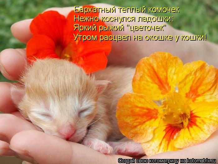 """Котоматрица: Бархатный теплый комочек Яркий рыжий """"цветочек"""" Нежно коснулся ладошки: Утром расцвел на окошке у кошки!"""