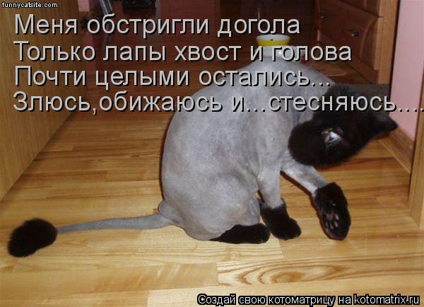Котоматрица: Меня обстригли догола Только лапы хвост и голова Почти целыми остались... Злюсь,обижаюсь и...стесняюсь....