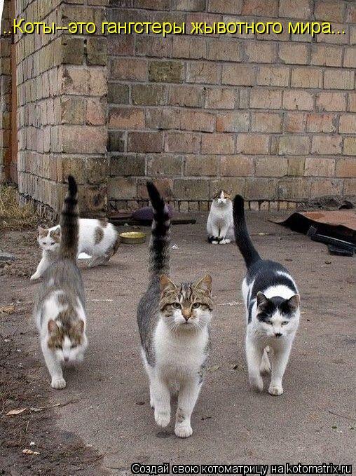 Котоматрица: ..Коты--это гангстеры жывотного мира...