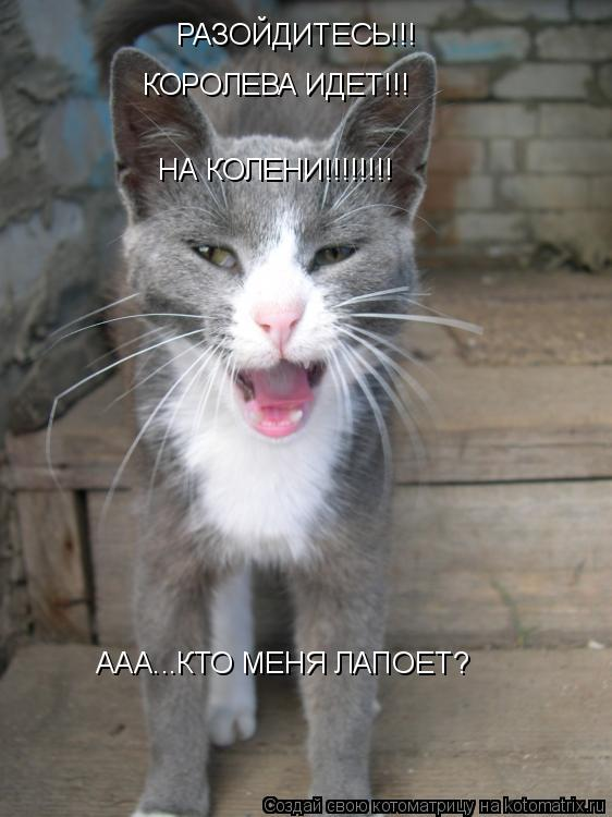 Котоматрица: РАЗОЙДИТЕСЬ!!! КОРОЛЕВА ИДЕТ!!! НА КОЛЕНИ!!!!!!!! ААА...КТО МЕНЯ ЛАПОЕТ?