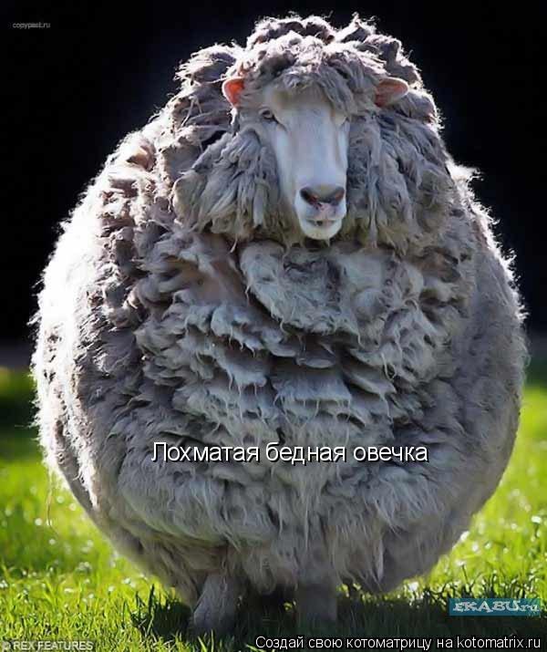 Котоматрица: Лохматая бедная овечка