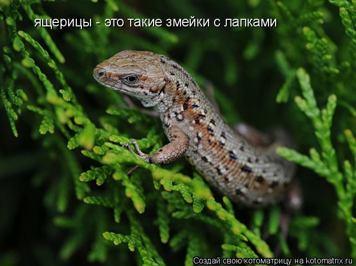 Котоматрица: ящерицы - это такие змейки с лапками