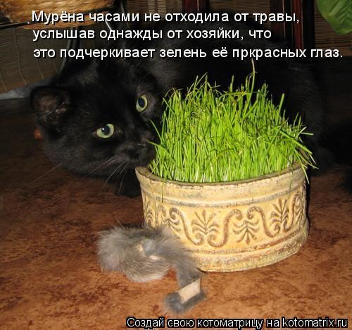 Котоматрица: Мурёна часами не отходила от травы, услышав однажды от хозяйки, что это подчеркивает зелень её пркрасных глаз.