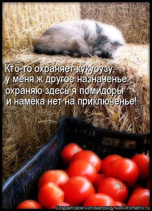 Котоматрица: Кто-то охраняет кукурузу, у меня ж другое назначенье: охраняю здесь я помидоры и намёка нет на приключенье!