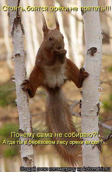 Котоматрица: Стоять,боятся орехи не прятать!!! Почему сама не собираю?!.. А где ты в берёзовом лесу орехи видел?...