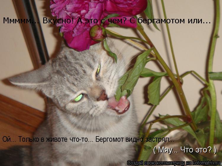 Котоматрица: Ммммм... Вкусно! А это с чем? С бергамотом или... Ой... Только в животе что-то... Бергомот видно застрял... ( Мяу... Что это? )