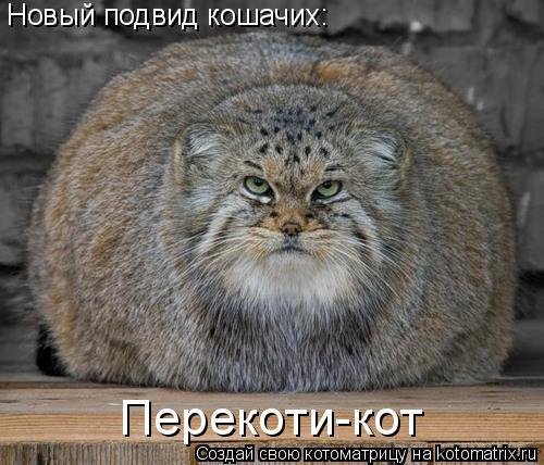 Котоматрица: Новый подвид кошачих: Перекоти-кот