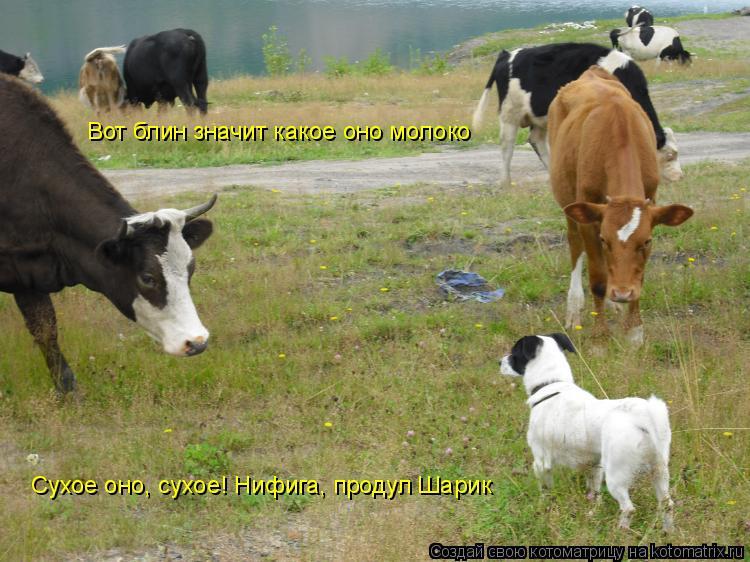 Котоматрица: Вот блин значит какое оно молоко Сухое оно, сухое! Нифига, продул Шарик