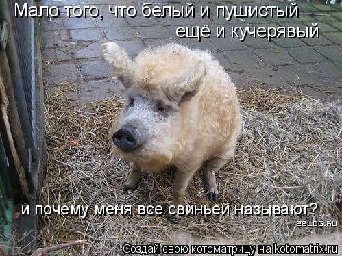 Котоматрица: Мало того, что белый и пушистый ещё и кучерявый и почему меня все свиньей называют?