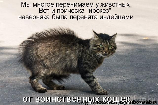 """Котоматрица: Мы многое перенимаем у животных.  Вот и прическа """"ирокез""""  наверняка была перенята индейцами  от воинственных кошек."""