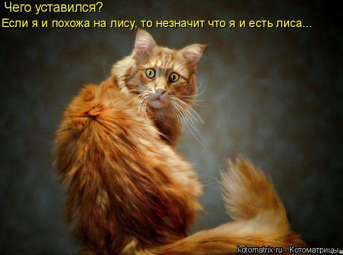 Котоматрица: Чего уставился?  Если я и похожа на лису, то незначит что я и есть лиса...
