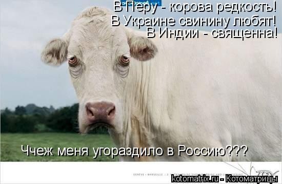 Котоматрица: В Украине свинину любят! В Индии - священна! Ччеж меня угораздило в Россию??? В Перу - корова редкость!