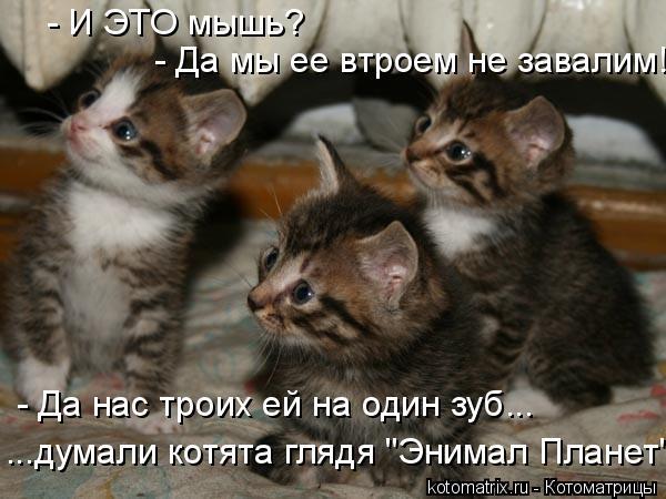 """Котоматрица: - И ЭТО мышь? - Да мы ее втроем не завалим! - Да нас троих ей на один зуб... ...думали котята глядя """"Энимал Планет"""""""