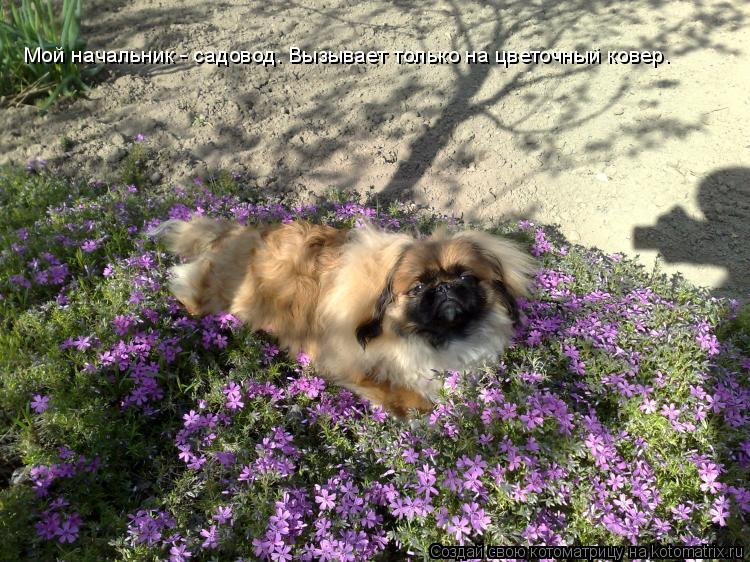 Котоматрица: Мой начальник - садовод. Вызывает только на цветочный ковер.