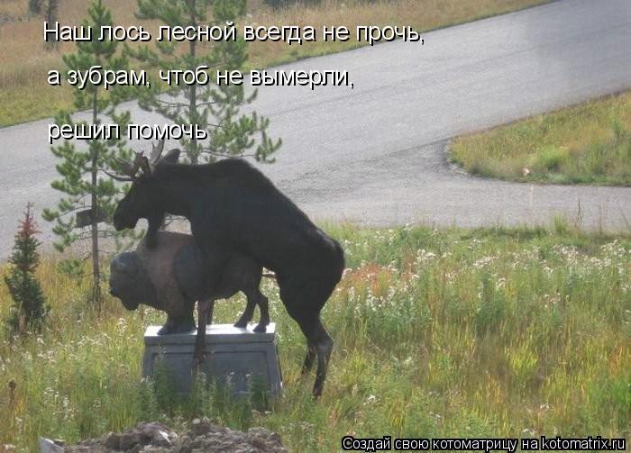 Котоматрица: Наш лось лесной всегда не прочь, решил помочь а зубрам, чтоб не вымерли,
