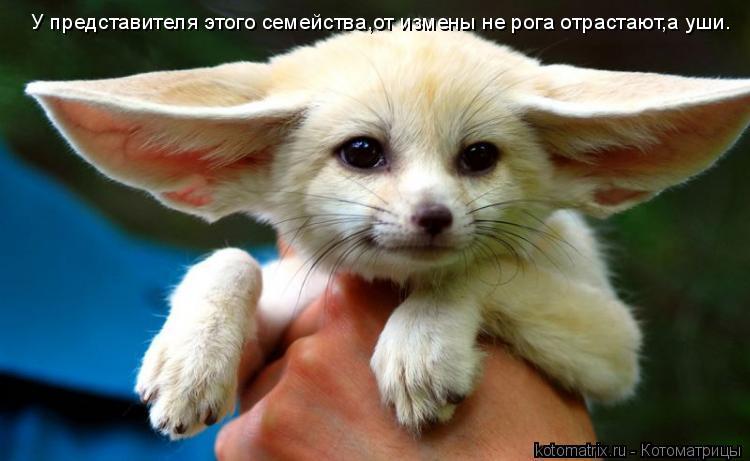 Котоматрица: У представителя этого семейства,от измены не рога отрастают,а уши.