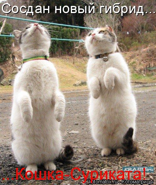 Котоматрица: Сосдан новый гибрид... ...Кошка-Суриката!