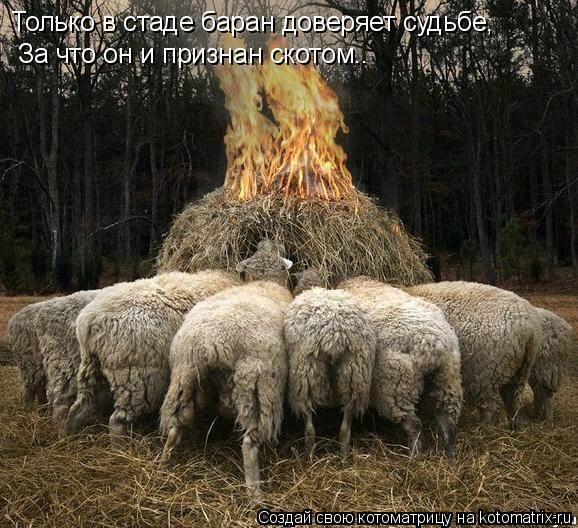 Котоматрица: Только в стаде баран доверяет судьбе, За что он и признан скотом..