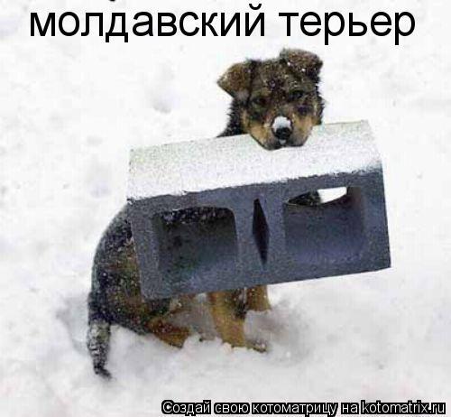 Котоматрица: молдавский терьер