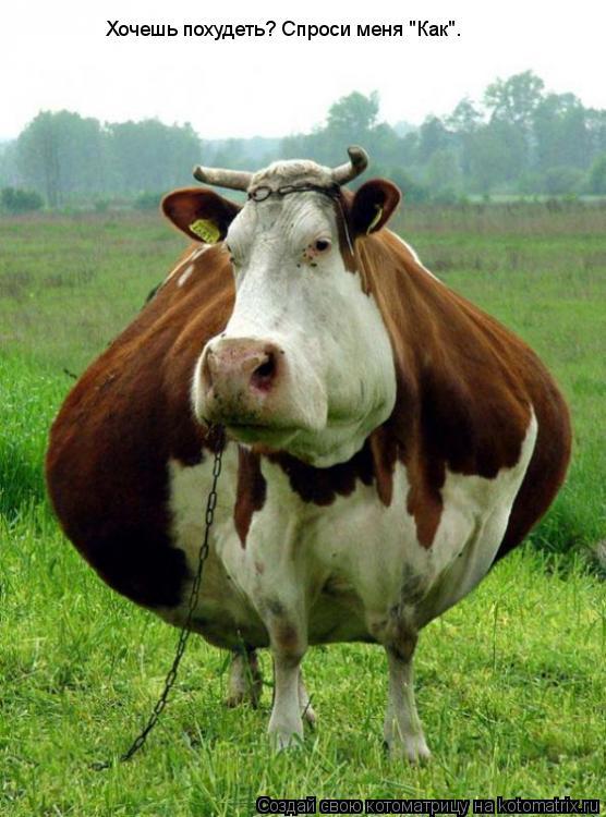 """Котоматрица: Хочешь похудеть? Спроси меня """"Как""""."""