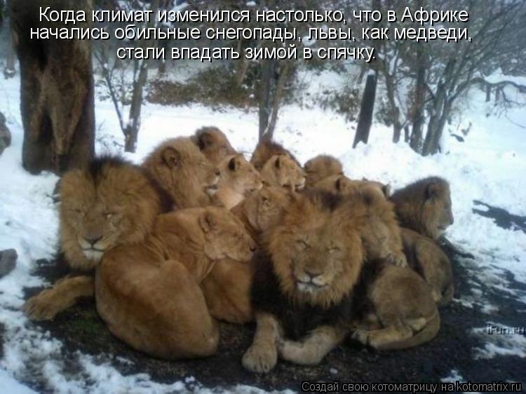 Котоматрица: Когда климат изменился настолько, что в Африке  начались обильные снегопады, львы, как медведи,  стали впадать зимой в спячку.