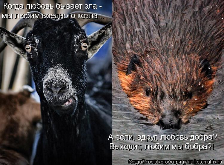 Котоматрица: Когда любовь бывает зла -  мы любим вредного козла... А если, вдруг, любовь добра? Выходит, любим мы бобра?!