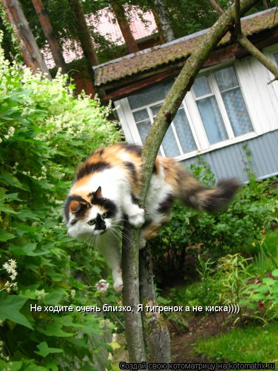 Котоматрица: Не ходите очень близко, Я тигренок а не киска))))