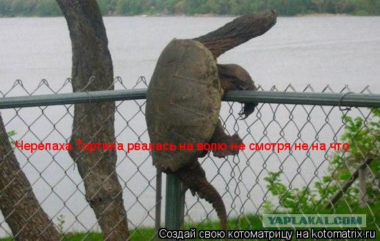 Котоматрица: Черепаха Тортила рвалась на волю не смотря не на что
