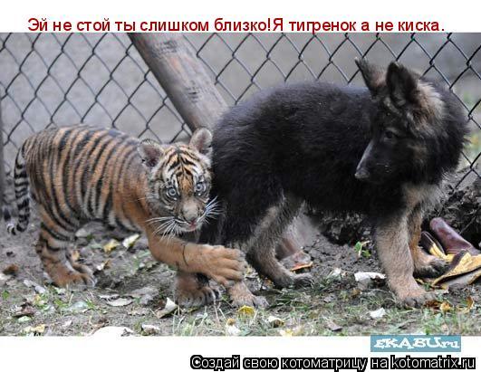 Котоматрица: Эй не стой ты слишком близко!Я тигренок а не киска.