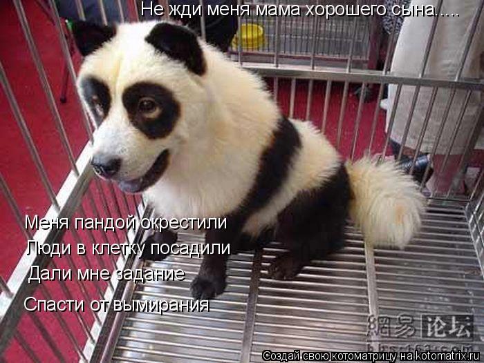 Котоматрица: Меня пандой окрестили Люди в клетку посадили Дали мне задание Спасти от вымирания Не жди меня мама хорошего сына.....