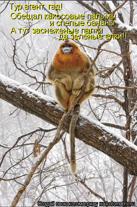 Котоматрица: Тур агент, гад!  Обещал какосовые пальмы  и спелые бананы А тут заснеженые палки да зелёные ёлки!!