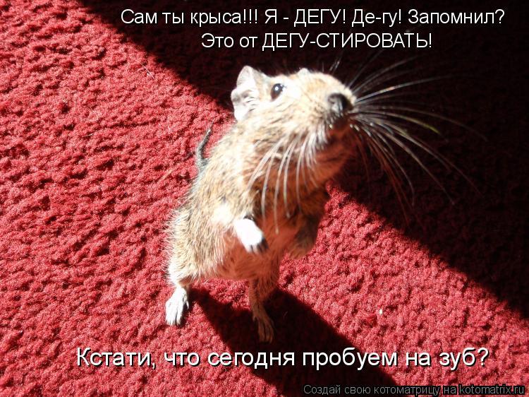 Котоматрица: Сам ты крыса!!! Я - ДЕГУ! Де-гу! Запомнил? Это от ДЕГУ-СТИРОВАТЬ! Кстати, что сегодня пробуем на зуб?