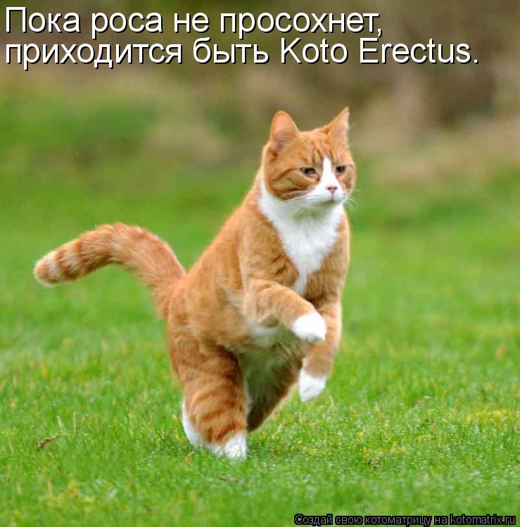 Котоматрица: Пока роса не просохнет, приходится быть Koto Erectus.
