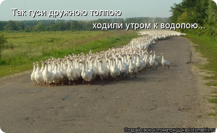 Котоматрица: Так гуси дружною толпою ходили утром к водопою...