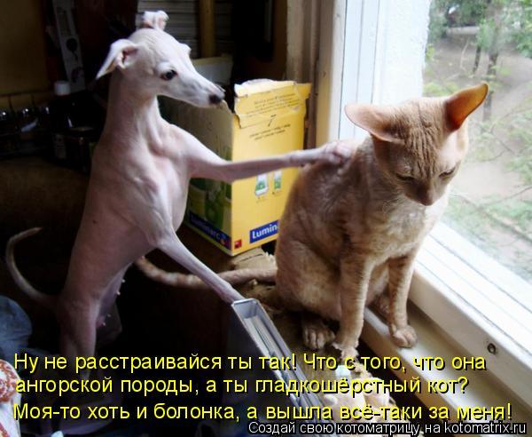 Котоматрица: Ну не расстраивайся ты так! Что с того, что она  ангорской породы, а ты гладкошёрстный кот?  Моя-то хоть и болонка, а вышла всё-таки за меня!