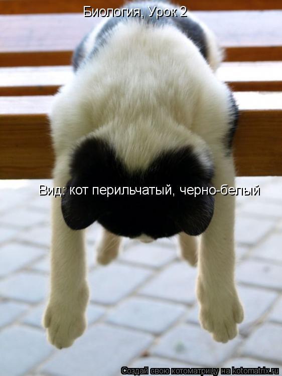 Котоматрица: Биология, Урок 2  Вид: кот перильчатый, черно-белый
