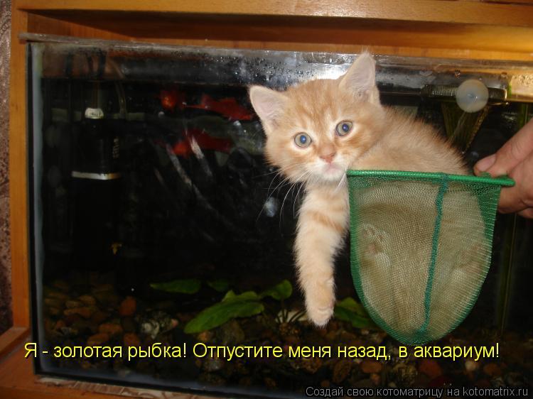 Котоматрица: Я - золотая рыбка! Отпустите меня назад, в аквариум!