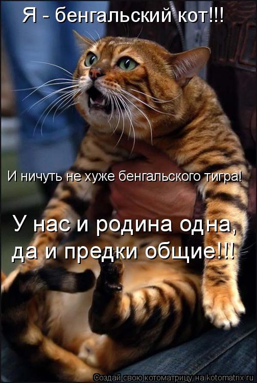 Котоматрица: Я - бенгальский кот!!! И ничуть не хуже бенгальского тигра! У нас и родина одна,  да и предки общие!!!