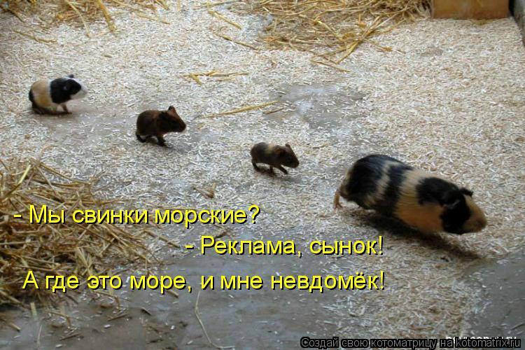 Котоматрица: - Мы свинки морские?  - Реклама, сынок!  А где это море, и мне невдомёк!