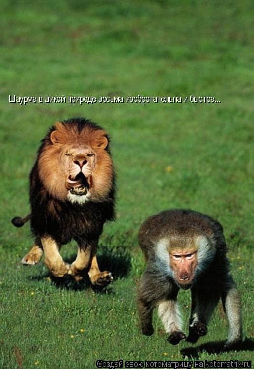 Котоматрица: Шаурма в дикой природе весьма изобретательна и быстра...