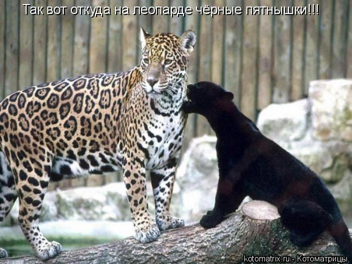Котоматрица: Так вот откуда на леопарде чёрные пятнышки!!!