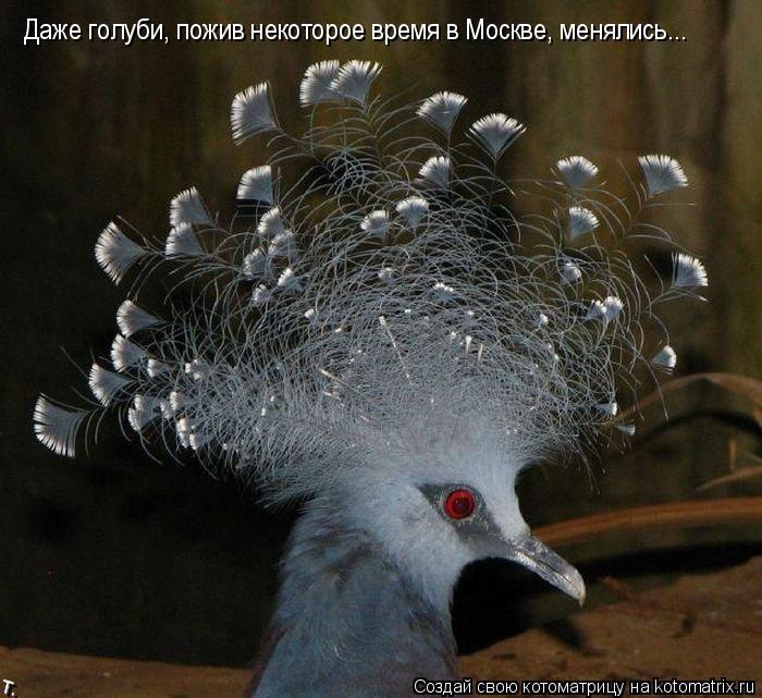 Котоматрица: Даже голуби, пожив некоторое время в Москве, менялись...