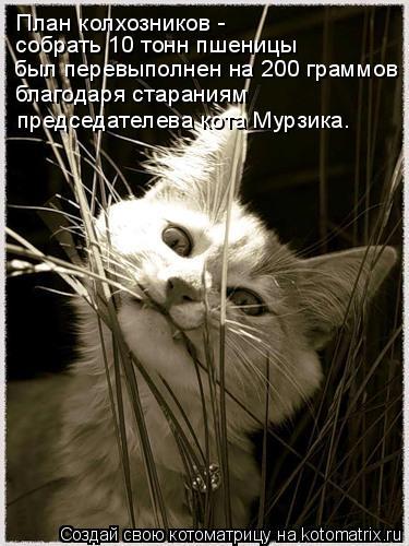 Котоматрица: План колхозников -  собрать 10 тонн пшеницы был перевыполнен на 200 граммов благодаря стараниям председателева кота Мурзика.
