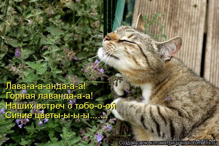 Котоматрица: Лава-а-а-анда-а-а! Лава-а-а-анда-а-а! Горная лаванда-а-а! Наших встреч с тобо-о-ой Синие цветы-ы-ы-ы.......