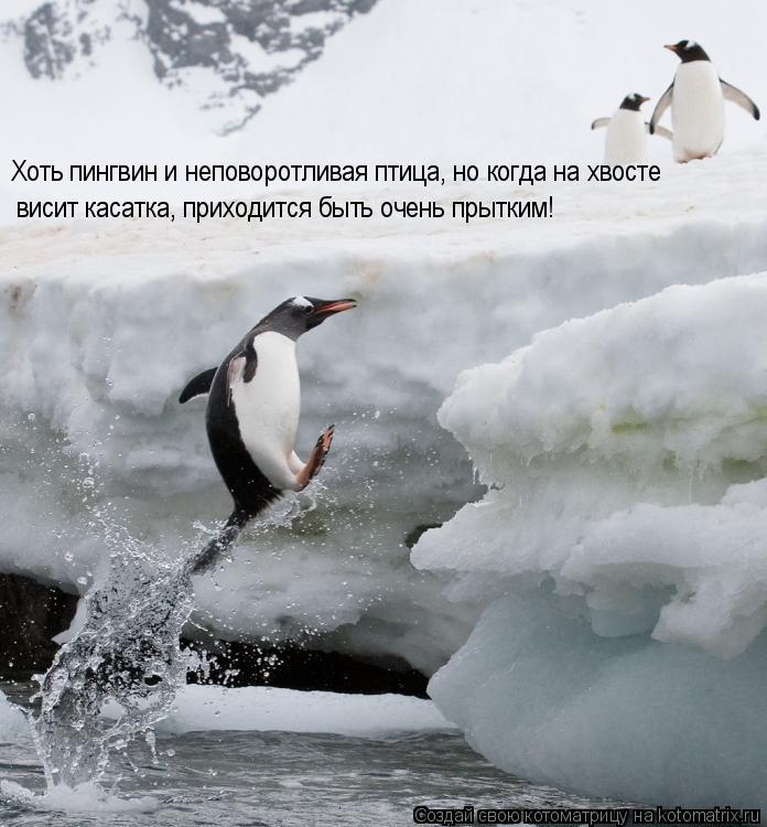 Котоматрица: Хоть пингвин и неповоротливая птица, но когда на хвосте висит касатка, приходится быть очень прытким!